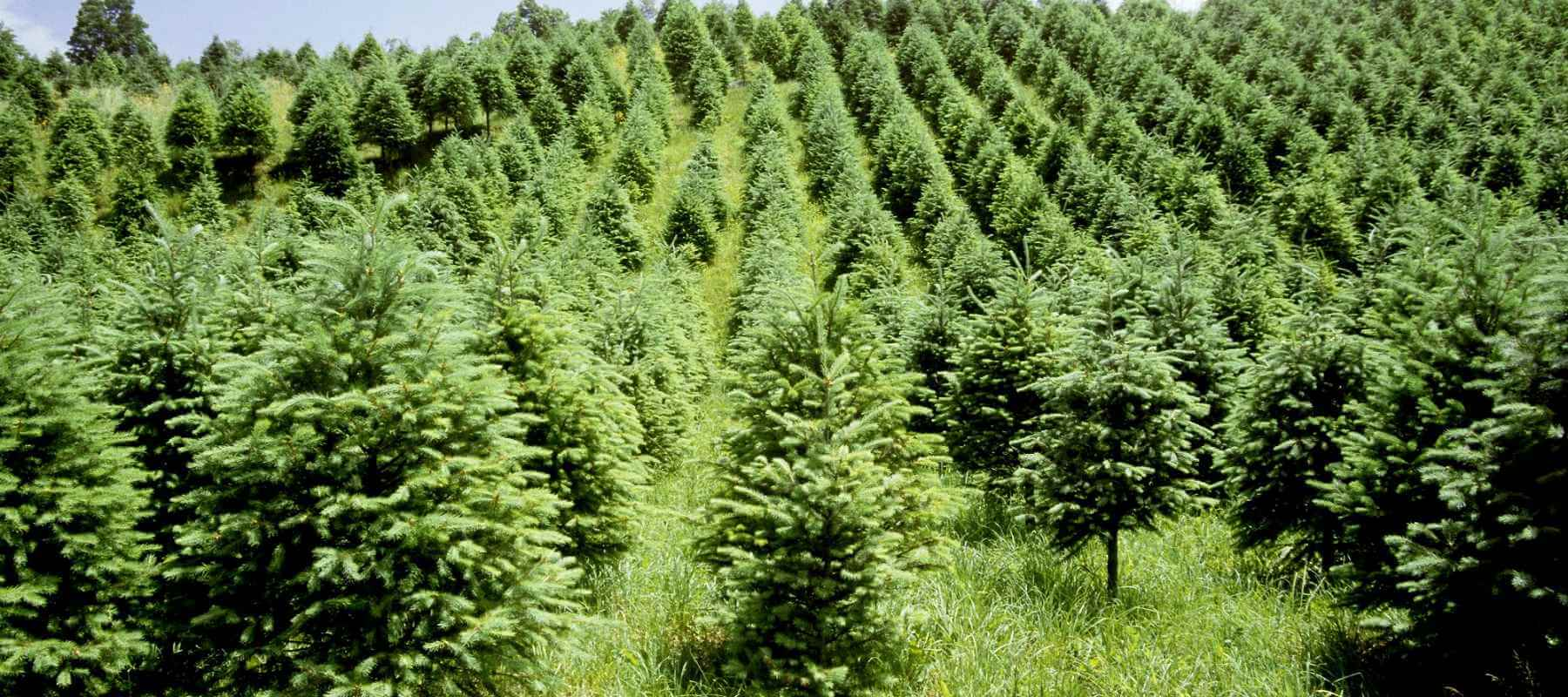 How Long Do Christmas Trees take to Grow?
